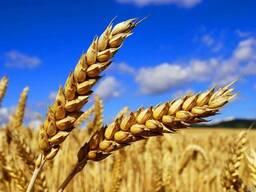 Vendita di grano duro per il grano 2018