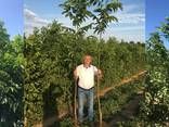 Chandler - Fernor Walnut Saplings (Tree) - photo 2