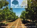 Chandler - Fernor Walnut Saplings (Tree) - photo 8