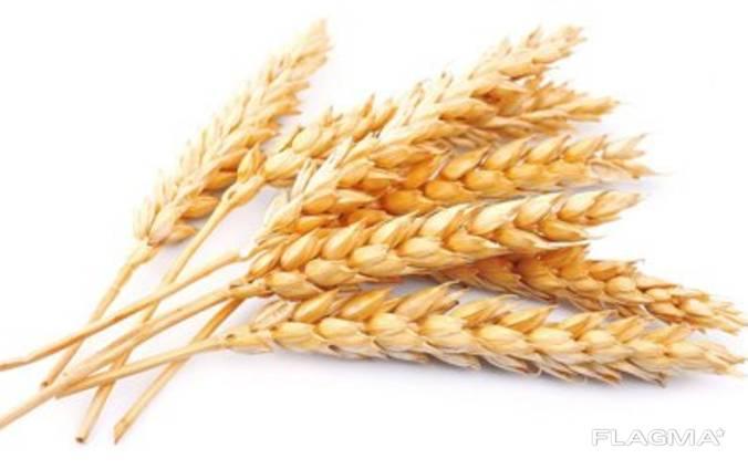 Пшеница дурум