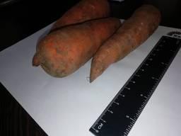 Venderò all'ingrosso di carote Kazakistan