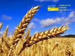 Wheat \ Пщеница - фото 1