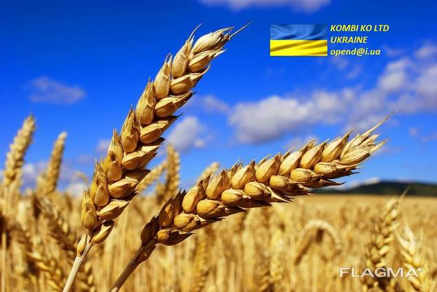 Wheat \ Пщеница
